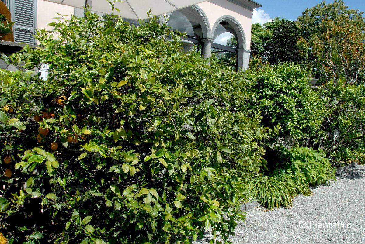 citrus limon k belpflanzen rusterholz baumschulen ag. Black Bedroom Furniture Sets. Home Design Ideas