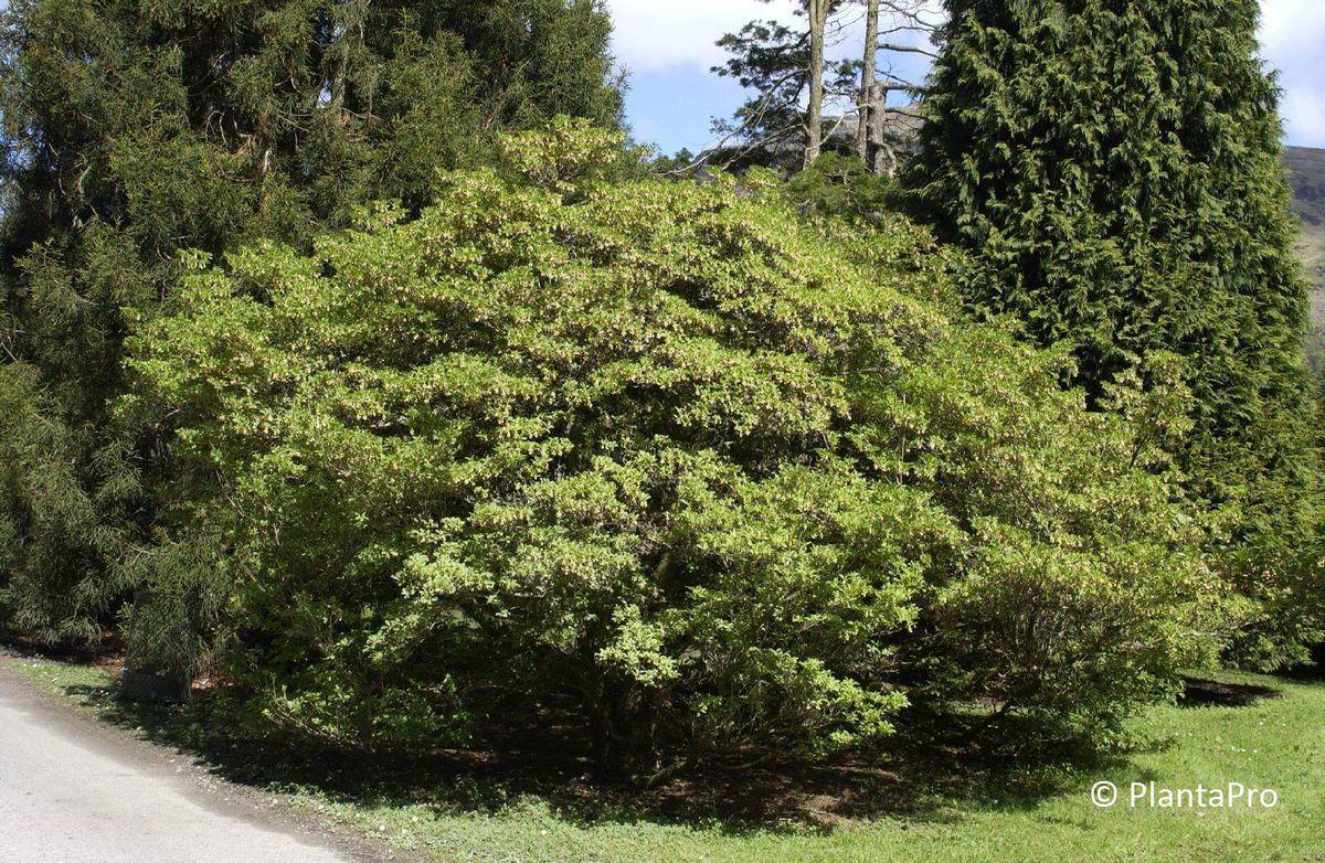 Enkianthus campanulatus Hecken immergrün Rusterholz