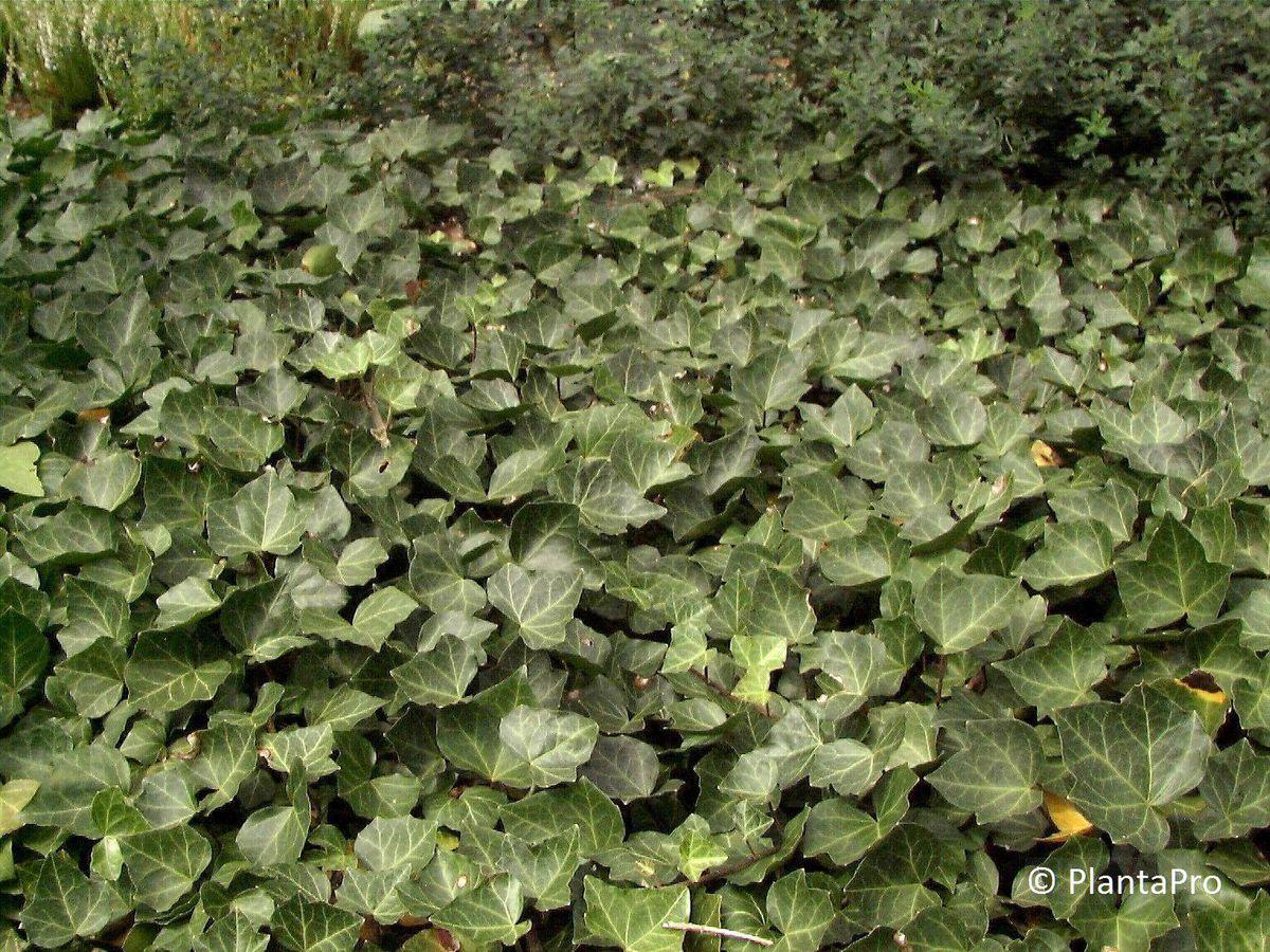 Kletterpflanzen Immergrün :: Rusterholz Baumschulen AG