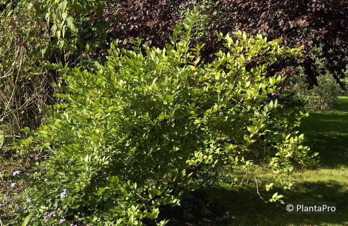 lonicera purpusii x moorbeetpflanzen rusterholz. Black Bedroom Furniture Sets. Home Design Ideas