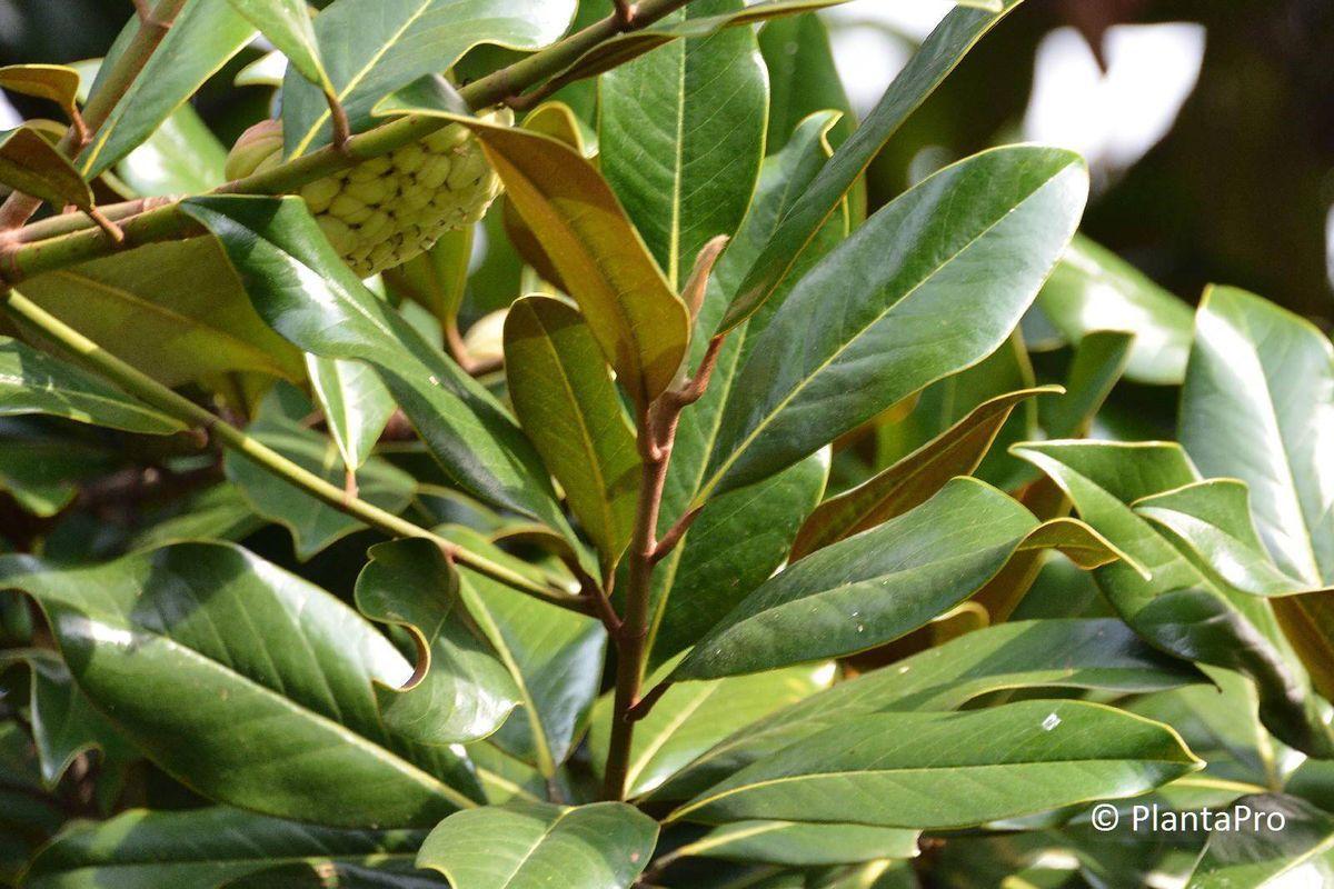 Magnolie Kleinwüchsig magnolia grandiflora solitärbäume kleinwüchsig rusterholz