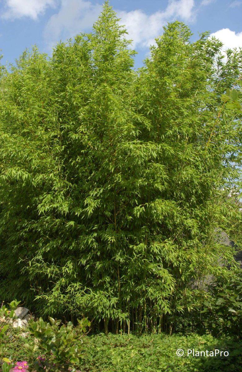 phyllostachys aurea bambus rusterholz baumschulen ag. Black Bedroom Furniture Sets. Home Design Ideas