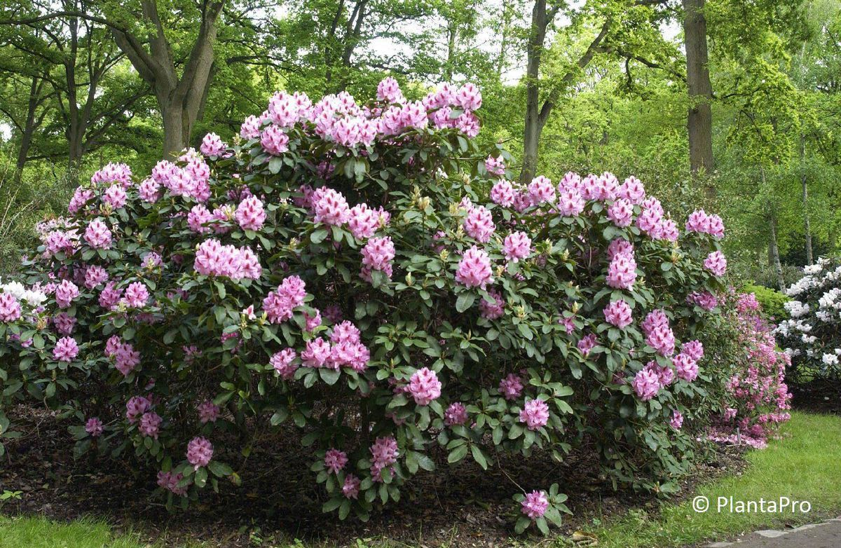rhododendron cauc gruppe 39 furnivall 39 s daughter. Black Bedroom Furniture Sets. Home Design Ideas