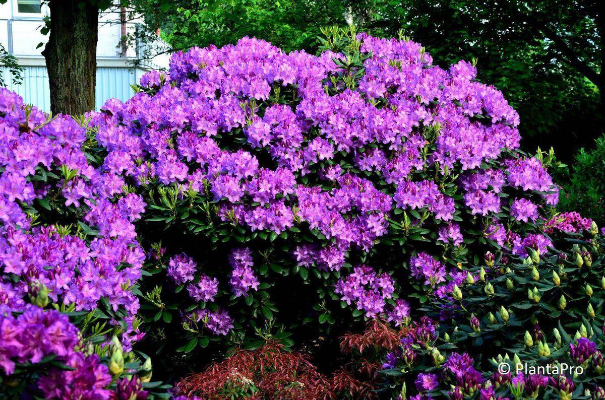 rhododendron immergr n rusterholz baumschulen ag. Black Bedroom Furniture Sets. Home Design Ideas