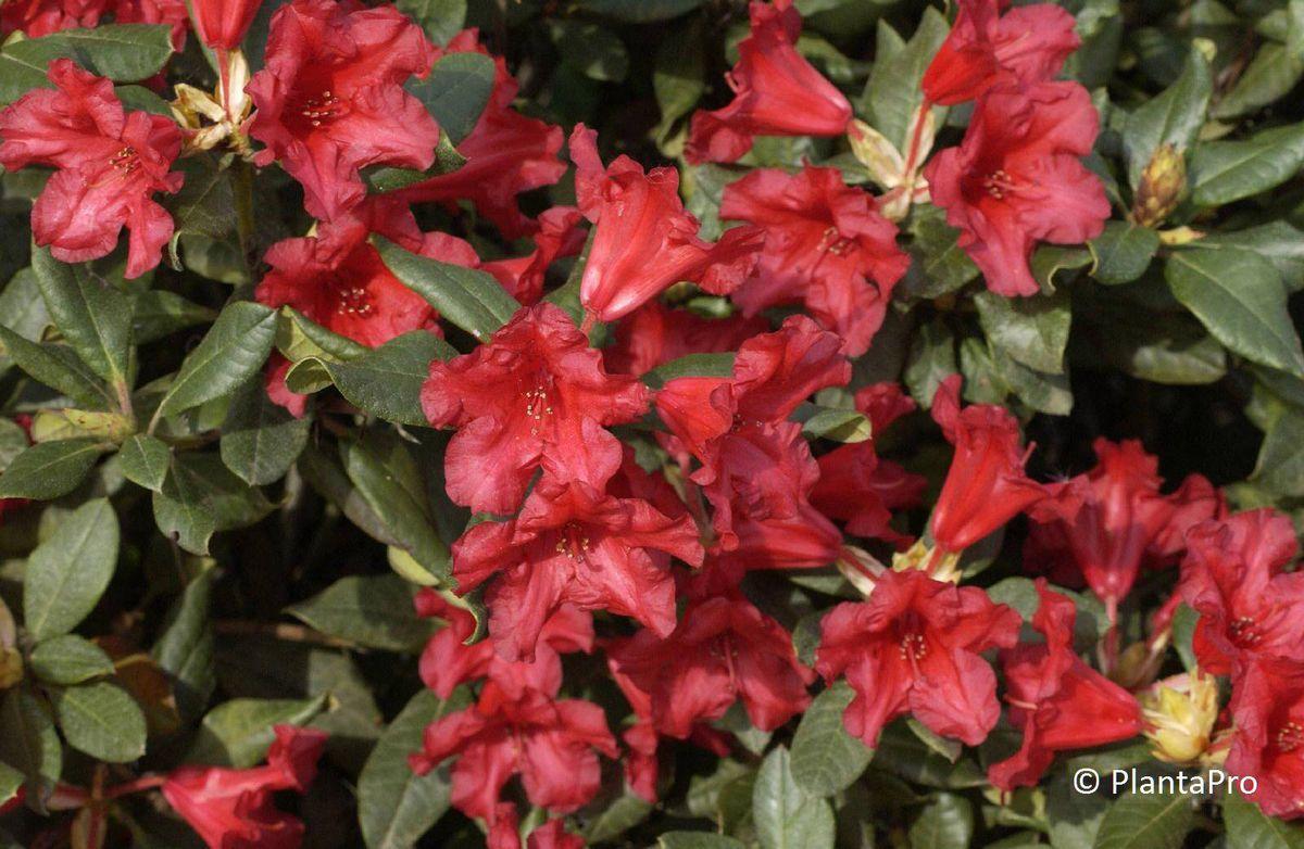 rhododendron forrestii gruppe 39 baden baden 39 rhododendron immergr n rusterholz baumschulen ag. Black Bedroom Furniture Sets. Home Design Ideas